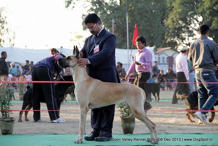great dane,sw-103,, Dehradun Dog Show 2013, DogSpot.in