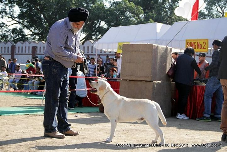 labrador,sw-103,, Dehradun Dog Show 2013, DogSpot.in