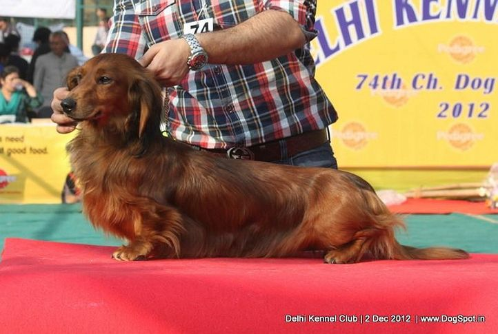 dachshund,ex-74,sw-67,, TARRAMIST FORCE INDIA, Dachshund Standard- Long Haired, DogSpot.in