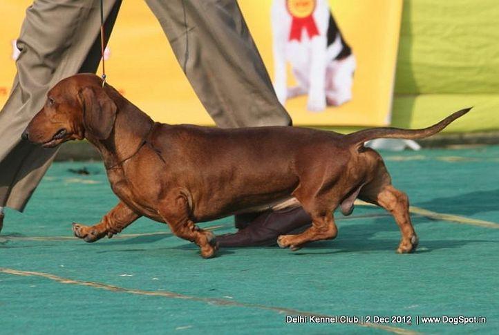 dachshund,ex-75,sw-67,, KAPPENBERG'S ZIPPY ZEDEKIAH, Dachshund Standard- Smooth Haired, DogSpot.in