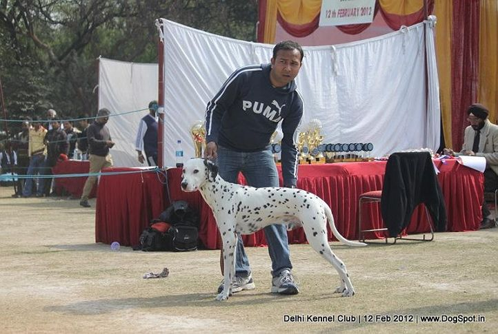 dalmatian,sw-52,, Delhi Kennel Club 2012, DogSpot.in