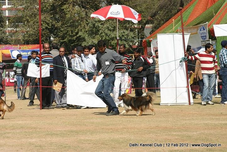 sheetland,sw-52,, Delhi Kennel Club 2012, DogSpot.in