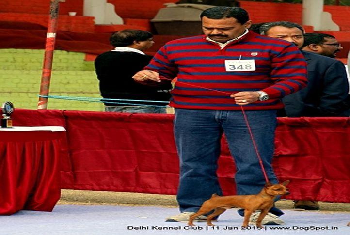 min-pin,miniature pinscher,sw-145,, Delhi Kennel Club , DogSpot.in