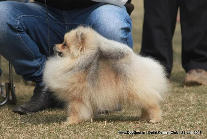 ex-7,pomeranian,sw-25,, ELLIE, Pomeranian, DogSpot.in