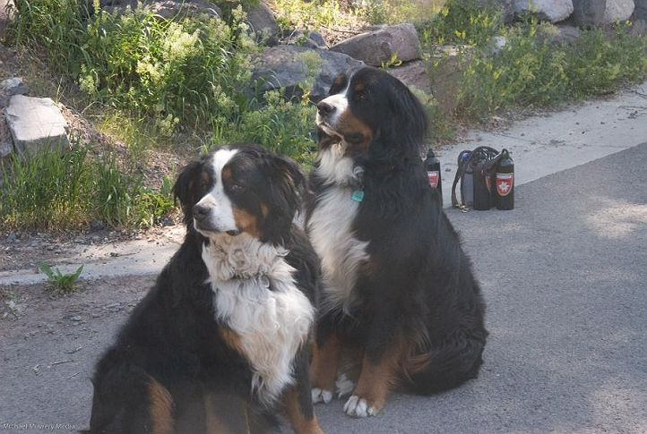 the bernese of telluride and friends alpen schatz,bernese mountain dog,colorado,event,event 2007,places,smokie,telluride,telluride 4th july parade 2007,united states,animal,animals,bernesemountaindog,companion animals,creature,creatures,dog,doggie,doggy,domesticated animals,pet,pets,zoology,, my fav dog breeds, DogSpot.in