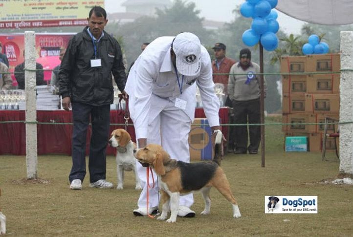 Beagle,, Ghaziabad Dog Show 2010, DogSpot.in