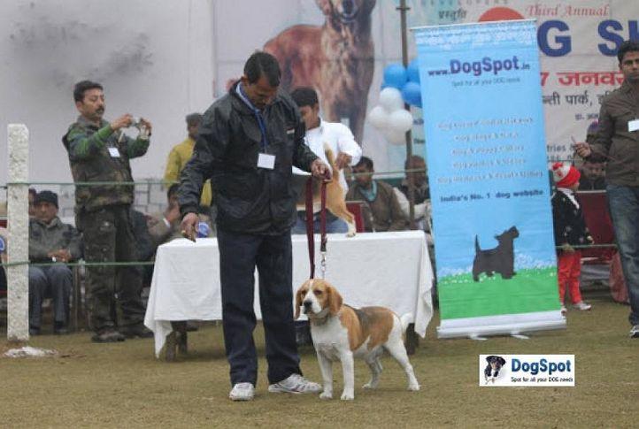 Beagle,, Ghaziabad Dog Show 2010, DogSpot.in