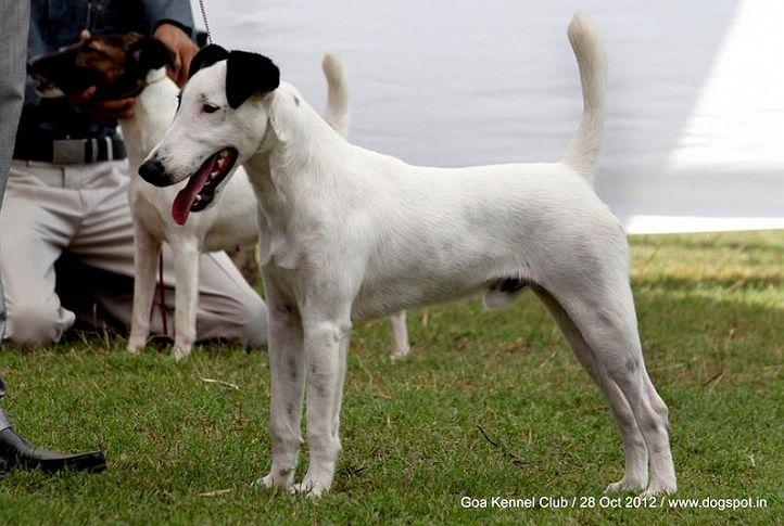 ex-33,fox terrier,sw-63,, SPARTAS ENTER THE DEAGON, Fox Terrier- Smooth Hair, DogSpot.in