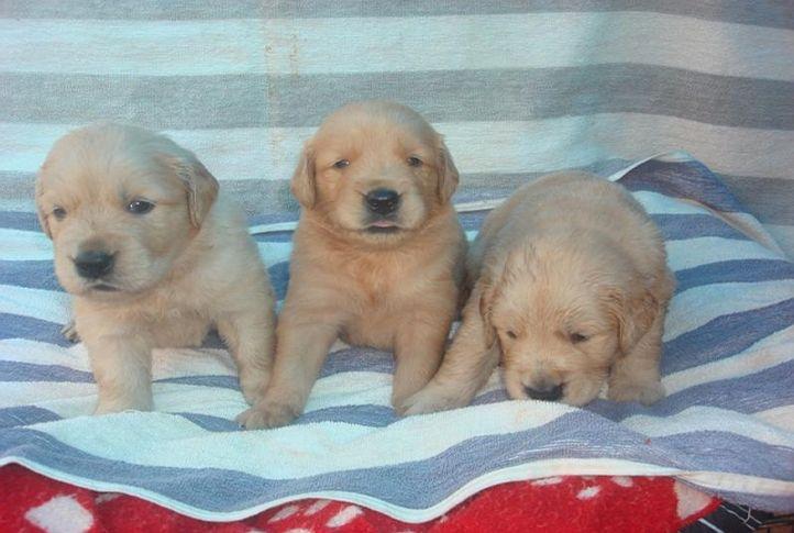 golden retrievers of blue eye kennels, GOLDEN RETRIEVER'S OF BLUE EYE KENNELS, DogSpot.in