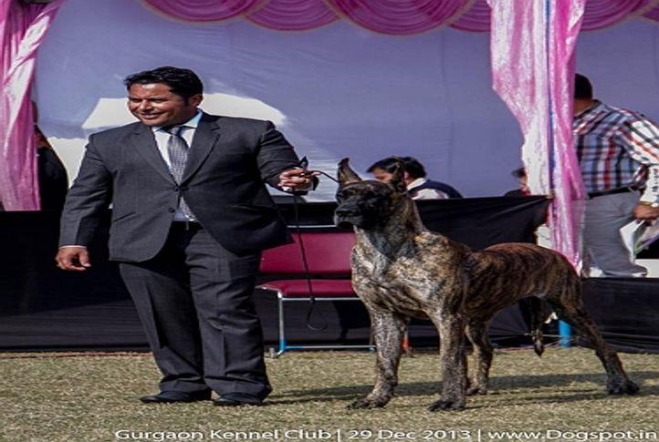 great dane,ex-211,sw-109,, Gurgaon Dog Show 2013, DogSpot.in