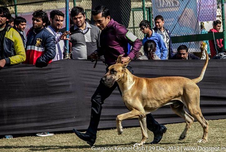great dane,sw-109,, Gurgaon Dog Show 2013, DogSpot.in