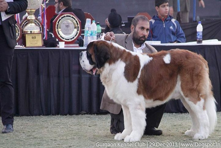 st bernard,sw-109,, Gurgaon Dog Show 2013, DogSpot.in