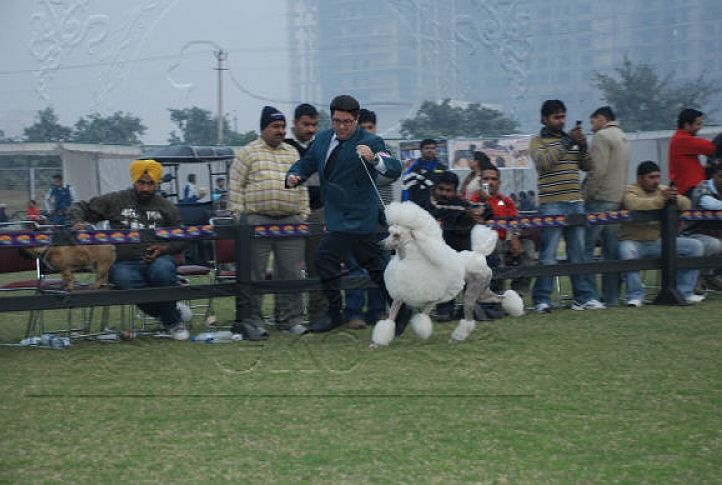 poodle,, Gurgaon Dog Show Day1, DogSpot.in