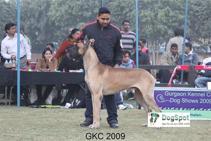 Great Dane,, Gurgaon Dog Show, DogSpot.in