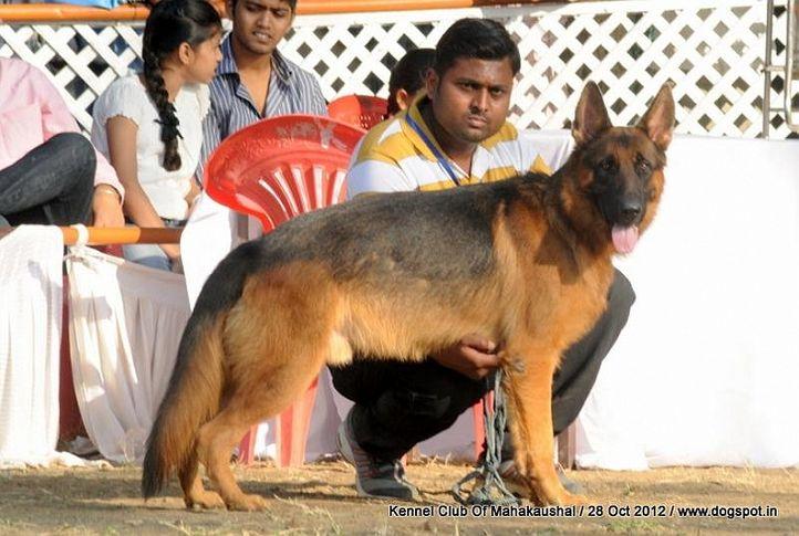 ex-156,german shephard,sw-60,, KLEO OF PALAEOLAND, German Shepherd Dog, DogSpot.in