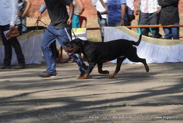 ex-142,rottweiler,sw-60,, DORY EARL ANTONIUS, Rottweiler, DogSpot.in