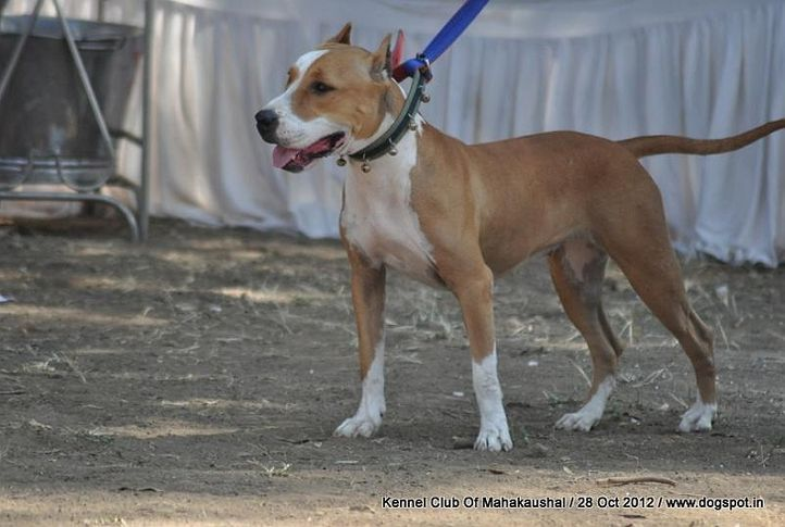 ex-17,staffordshire bull terrier,sw-60,, HASHMEET'S EKUM, Staffordshire Bull Terrier, DogSpot.in