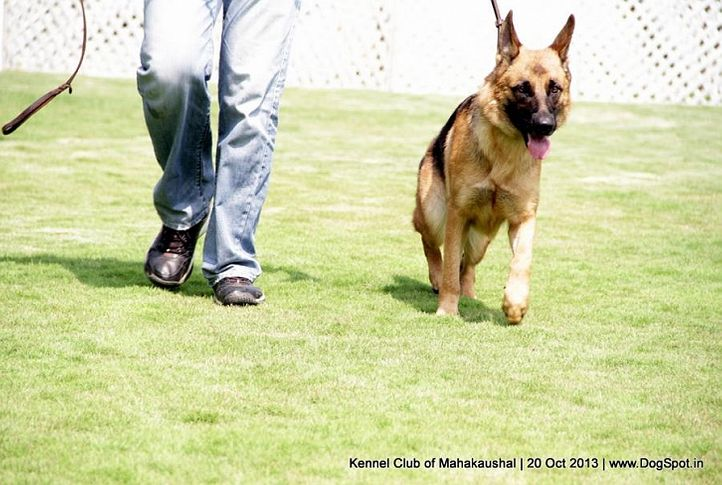 ex-185,gsd,sw-87,, HOLLY OF BHALOTHIA, German Shepherd Dog, DogSpot.in