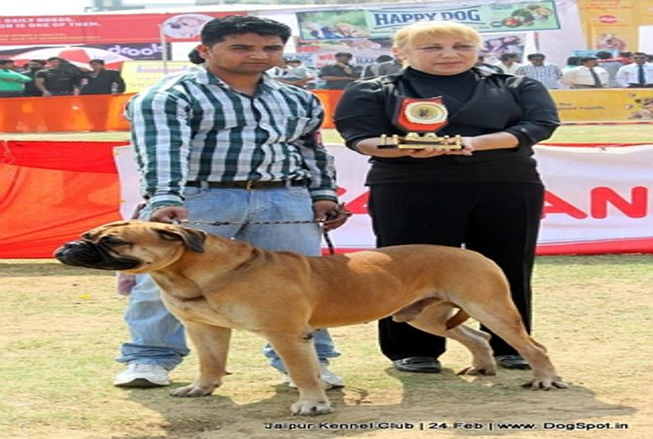 bull mastiff,ex-127,sw-84,, BLUE BELL'S EDGE, Bullmastiff, DogSpot.in