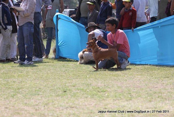 minpin,sw-34, Jaipur Kennel Club, DogSpot.in