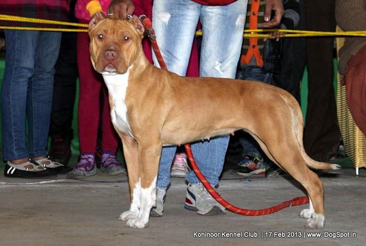 ex-27,staffordshire bull terrier,sw-82,, HAZY, Staffordshire Bull Terrier, DogSpot.in