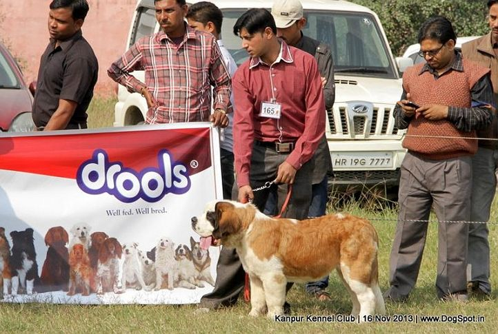 ex-165,st bernard,sw-97,, Kanpur Dog Show 2013, DogSpot.in