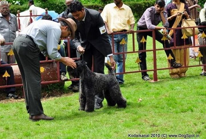 kerry blue,, Kodaikanal Dog Show 2010, DogSpot.in