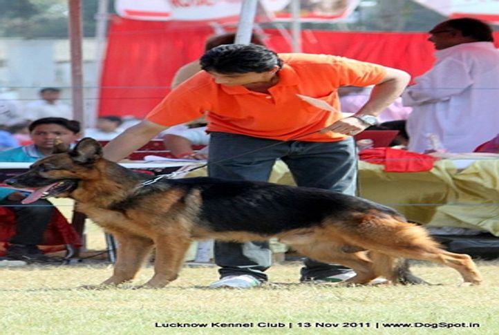 ex-257,gsd,sw-43,, ZAMBO, German Shepherd Dog, DogSpot.in