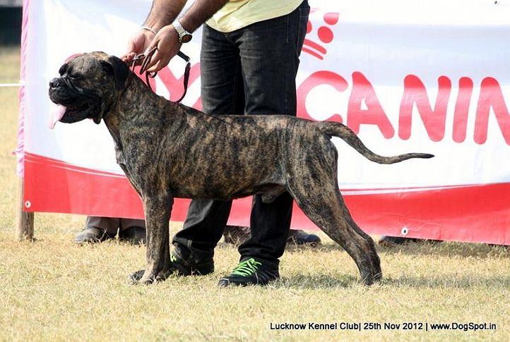 bull mastiff,ex-143,sw-71,, SANDHU'S BRANCO, Bullmastiff, DogSpot.in