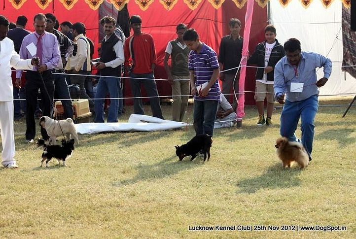 sw-71,toy group,, Lucknow Dog Show 2012, DogSpot.in