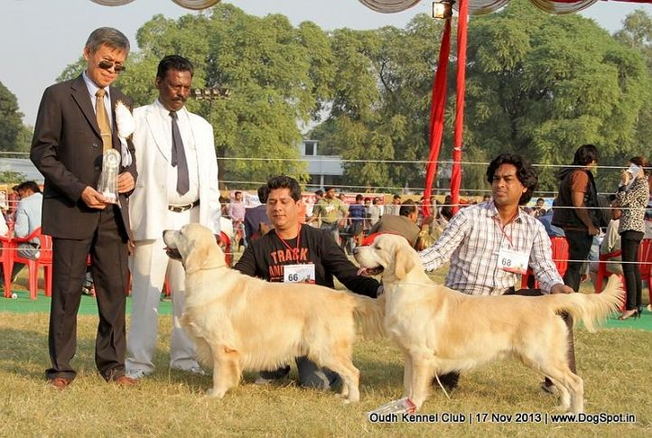 bob,ex-66,ex-68,golden retriever,sw-101,, Lucknow Dog Show 2013, DogSpot.in