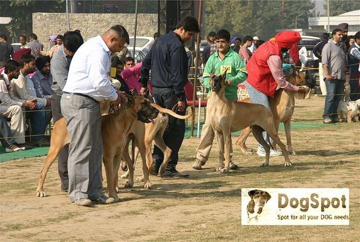 greatdane,, Ludhiana Dog Show 2008, DogSpot.in