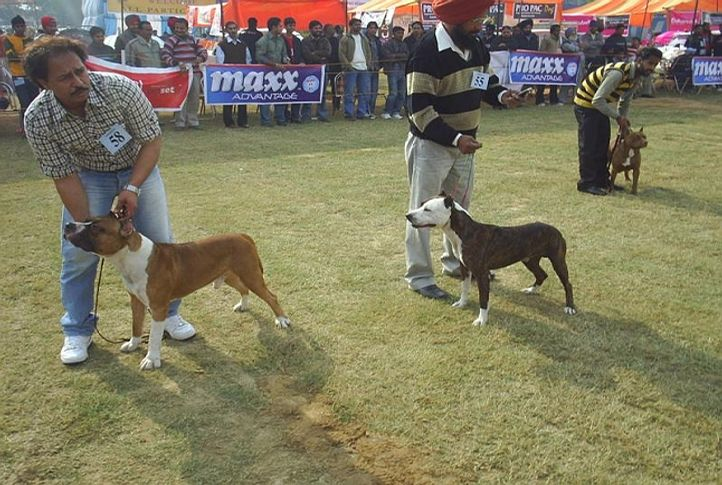 indias no 1 staffordshire terrier, ludhiana dog show 2009, DogSpot.in