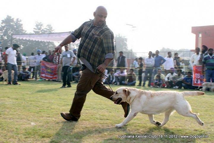 labrador retriever,sw-66,, Ludhiana Dog Show 2012, DogSpot.in