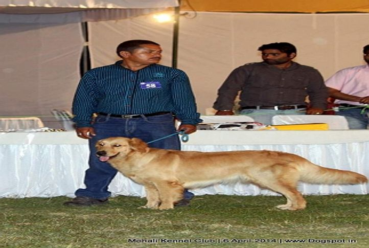 golden retriever,sw-122,, Mohali Kennel Club, DogSpot.in