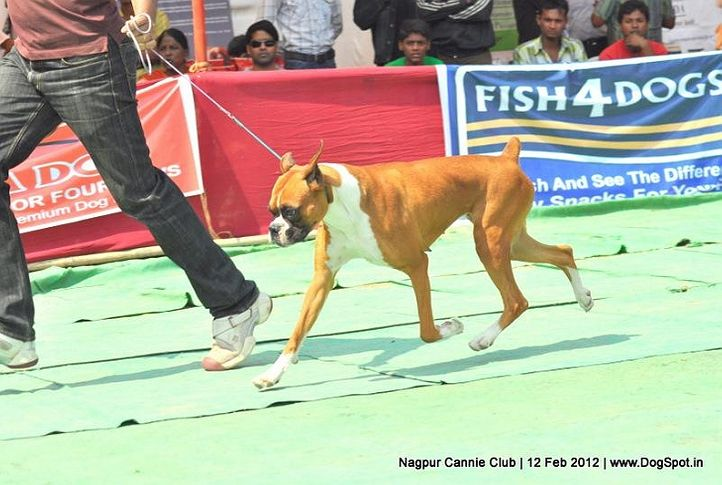 boxer,, Nagpur Dog Show, DogSpot.in
