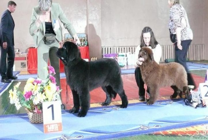 Giacomo vom Darius Land / black male 5 months old/, NEWFOUNDLAND KENNEL DARIUS LAND, DogSpot.in