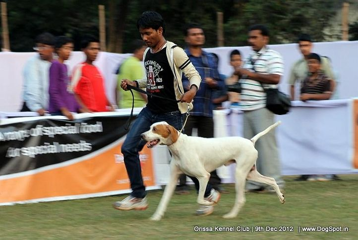 pointer,sw-68,, Orissa Dog Show, DogSpot.in