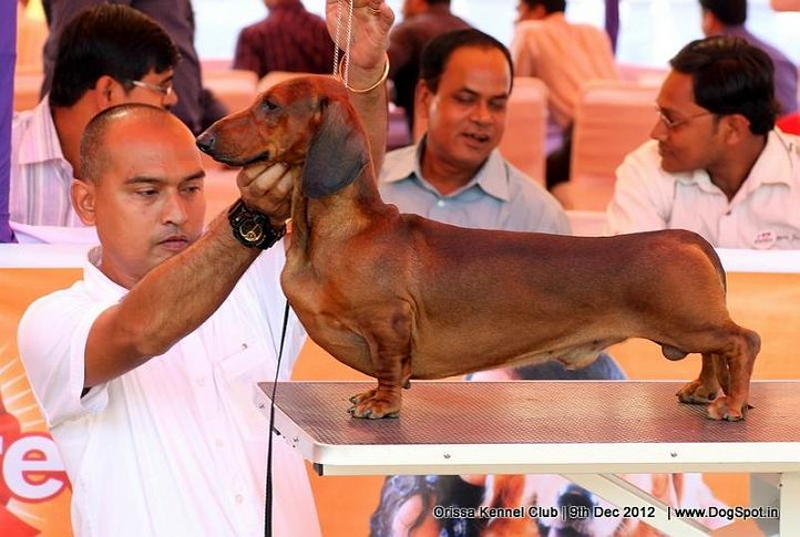 dachshund,ex-68,sw-68,, IND. CH. ZOO ZOO, Dachshund Standard- Smooth Haired, DogSpot.in