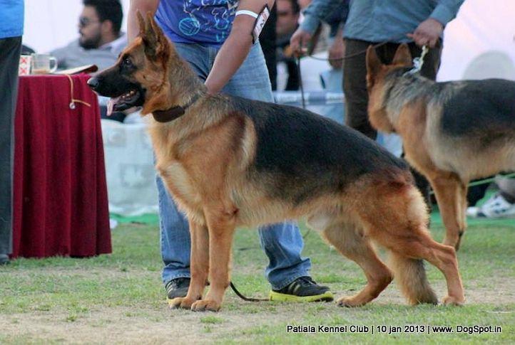german shepherd,sw-80,, Patiala Dog Show 2013, DogSpot.in
