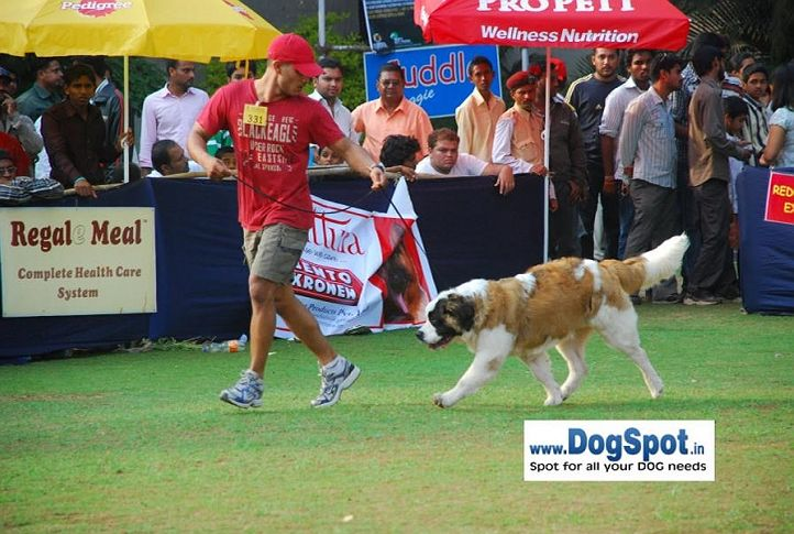 St Bernard,, Pune 2010, DogSpot.in