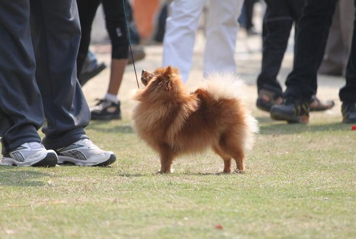 pekingese,, Royal Kennel Club Dog Show 2011, DogSpot.in