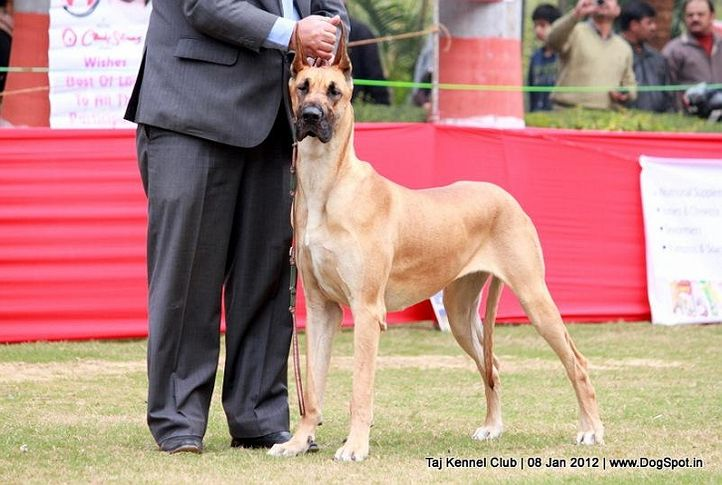 great dane,sw-51,, Taj Kennel Club 2012, DogSpot.in
