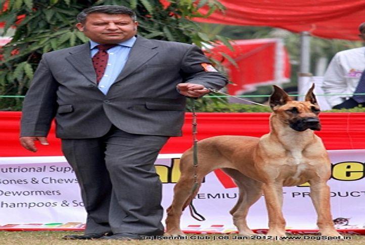 great dane,sw-51,, Taj Kennel Club 2012, DogSpot.in