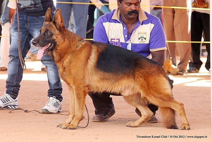 german shepherd,sw-59,, Trivandrum Dog Show 14th Oct 2012, DogSpot.in