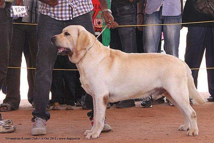 ex-126,labrador retriever,sw-59,, REETRONG PERFECT LAB ECLIPSE AT MOREEDOR, Labrador Retriever, DogSpot.in