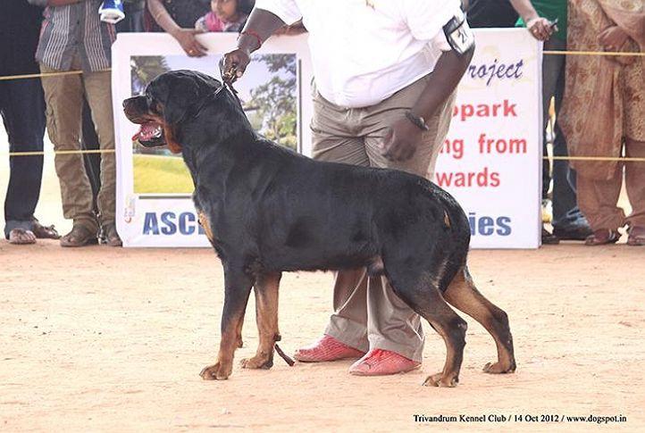ex-206,rottweiler,sw-59,, BORAT VOM QUERCUSWALD, Rottweiler, DogSpot.in