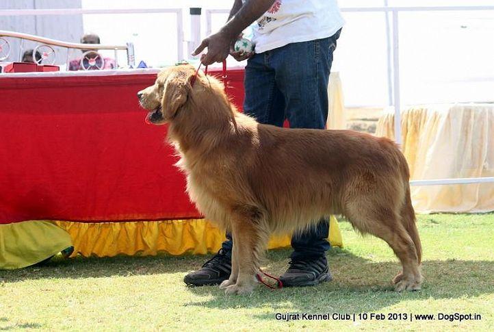 ex-57,golden retriever,sw-83,, Vadodara Dog Show , DogSpot.in