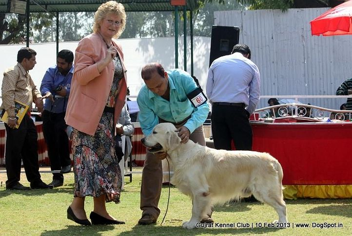 ex-60,golden retriever,sw-83,, Vadodara Dog Show , DogSpot.in