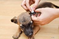 How to Clean Your Dog Ears